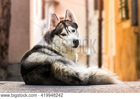 Dog Husky Watching On The Street In Front Of Own House.