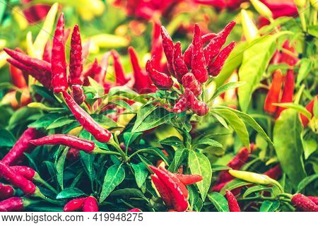 Red Hot Chilli Peppers Are An Integral Part Of Our Kitchen. Red Chilli Background.