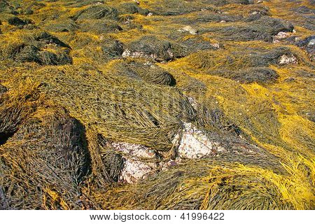 Abstract - Yellow & Brown Kelp Swirling Patterns