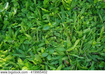 Top View Of Green Grass Texture Background Idea Concept Used For Making Green Backdrop. Grass Golf C