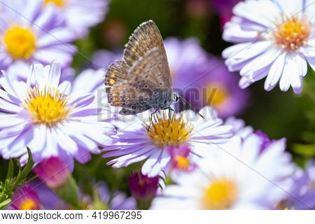 Aster flower with butterfly. Beautiful nature summer background. (Symphyotrichum novi-belgii) (Pararge aegeria)