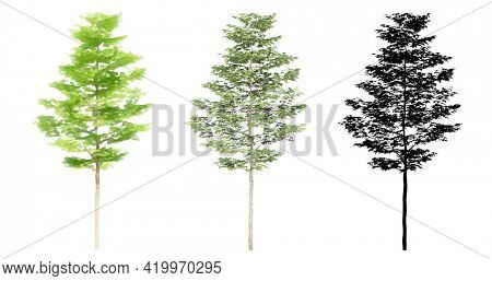Set or collection of American Sycamore trees, painted, natural and as a black silhouette on white background. Concept or conceptual 3d illustration for nature, ecology conservation, strength
