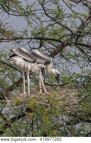 Juveniles Of Painted Storks Also Known As Mycteria Leucocephala Standing And Siting In Their Nest At