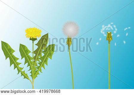 Vector Illustration Of 3 Realistic Variety Of Dandelions - Young With Fresh Yellow Flower And Green