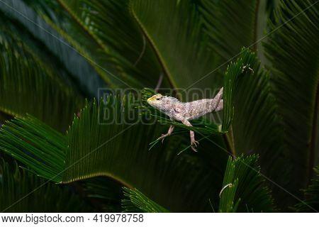 Beautiful Indian Garden Lizard (calotes Versicolor), Posing On A Leaves Of A Plant In The Garden. Al