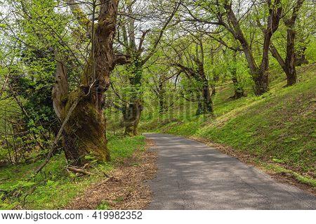 Grove Of Old Chestnut Trees ( Sweet Chestnut, Castanea Sativa ) On Sunny Spring Day. Montenegro