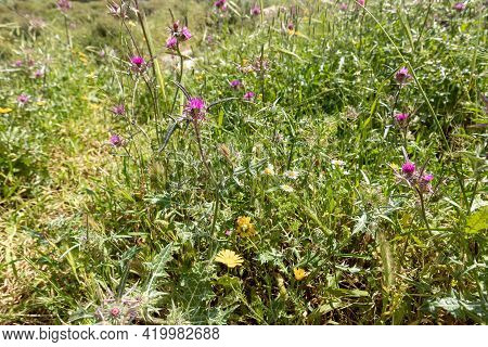 Small Thickets Of Common Thistle - Silybum Marianum - Grow In The Meadow In Spring, Near The Excavat