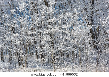 Snow Covered Trees Right After A Big Snowfall