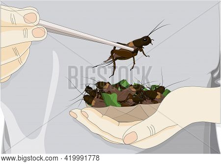 Man's Hand Holding Chopsticks Which Contain Crickets Insects For Eating As Food Deep-fried Crispy Sn