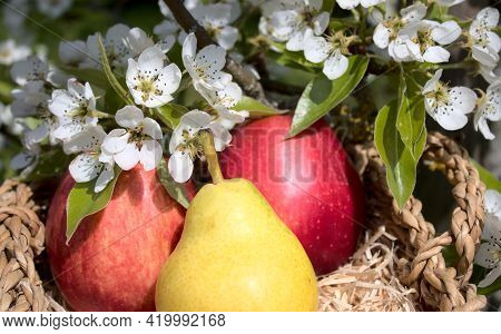 Two Apples And A Pear And Pear Blossoms