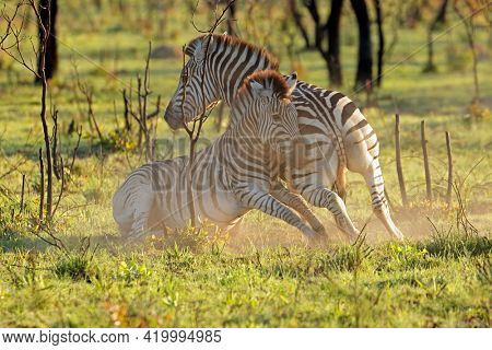 Two plains zebra stallions (Equus burchelli) fighting, South Africa