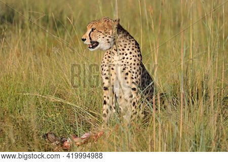 An alert cheetah (Acinonyx jubatus) sitting in natural habitat with prey, South Africa