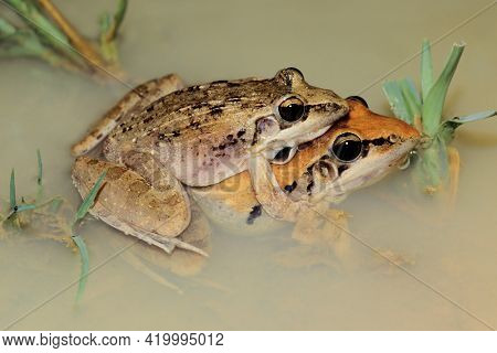 A pair of plain grass frogs (Ptychadena anchietae) mating in shallow water, South Africa