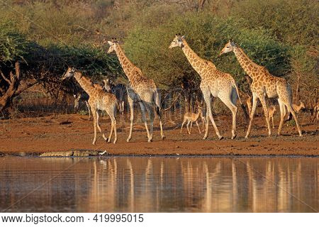 Giraffes (Giraffa camelopardalis) and other wildlife at a waterhole, Kruger National Park, South Africa