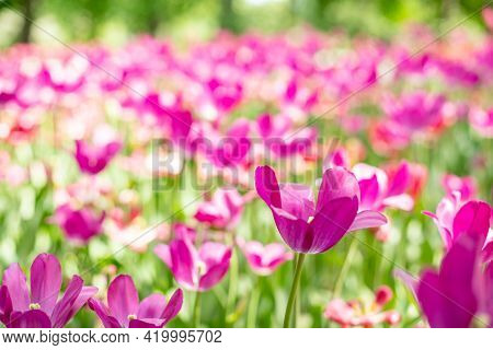 Beautiful Pink Blooming Tulip.field Of Blooming Pink Tulips In Spring Garden On Sunny Warm Day.