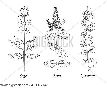 Drawing Sage, Mint, Rosemary. Hand Drawn Black Realistic Outline Vector Illustration.
