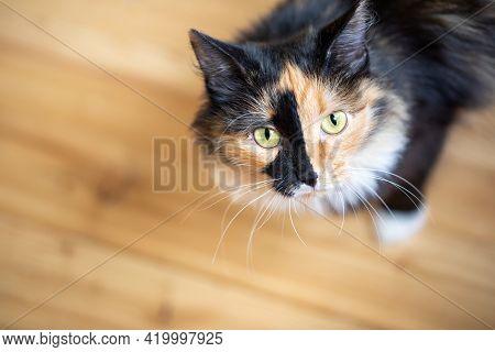 Cute Three-color Orange-black-and-white Young Cat Standing On Wooden Floor And Looking At Camera.