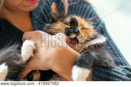 Young Woman Playing With Charming Three-color Young Cat In Her Hands. Kitten Biting Her Hand While P