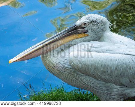 Dalmatian Pelican (pelecanus Crispus) By The Pond On A Sunny Day, Close-up