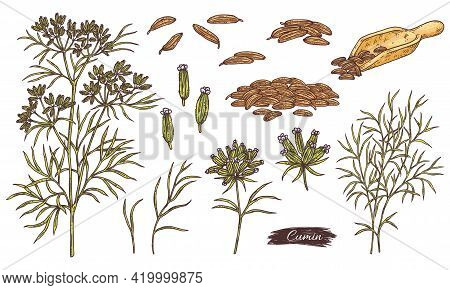 Cumin Producing Plant Or Herb, Engraving Vector Illustration Isolated.