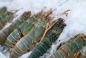 Fresh lobsters on ice for sale at restaurant. Selective focus on the dark lobster. poster