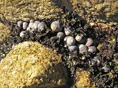 Snail shells clinging to the rocks of a tidal pool. poster