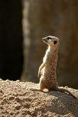 African suricata alert. Funny wild animal standing over rock poster