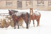 Two horses on snowy farm In Ontario poster