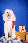 White Royal poodle on the blue background poster