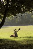 Male red deer in a forest clearing poster