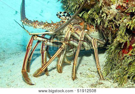Caribbean Spiny Lobst