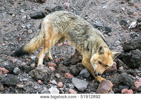 Andean Fox In The Chimborazo Province, Ecuador