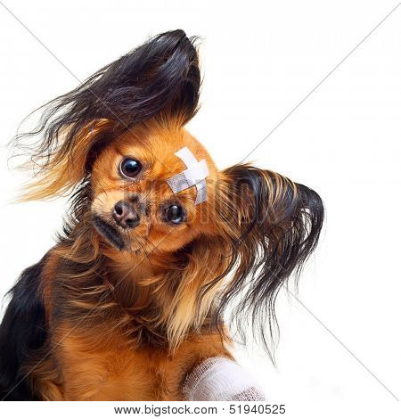 Young toy terrier dog with bandages on a white background. poster