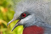 scheepmaker's crowned pigeon, grey with red eyes poster