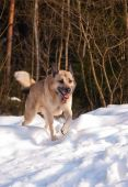 West Siberian Laika running in winter forest poster