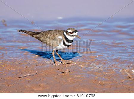 Killdeer standing in Mud