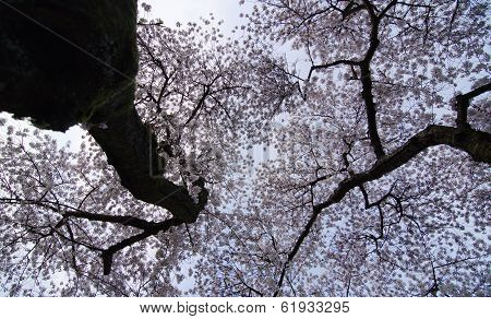 Blooming Cherry Trees Spike The Sky