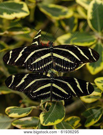 Zebara longwing butterflies mating