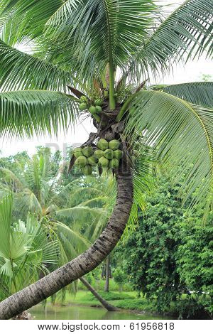 Coconut In The Groves