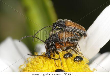 Three Busy Longhorn Beetles
