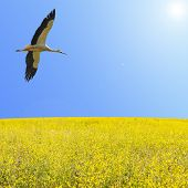 Alone stork fly in clear blue sky over spring flowering yellow field with free copy-space area for text poster