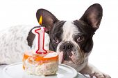 French bulldog on his first birthday with doggy cake poster