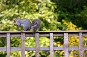 Grey Squirrel sitting on a garden fence eating a nut poster