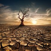 Global warming concept. Lonely dead tree under dramatic evening sunset sky at drought cracked desert landscape poster