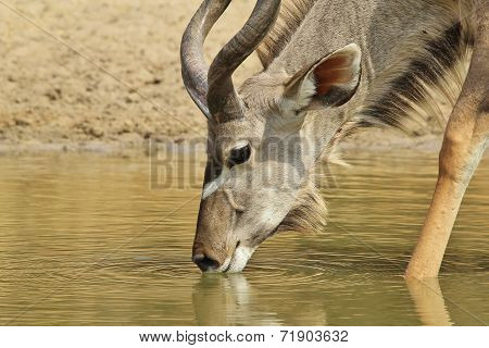 Kudu Antelope - African Wildlife Background - Golden Life of the Free