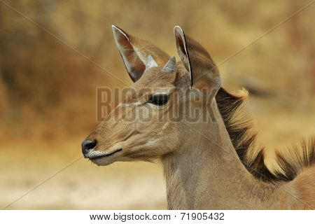 Kudu Antelope - African Wildlife Background - Golden Markings in Nature and Animal