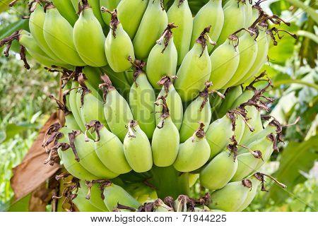 Many Of The Raw Banana