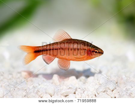 cherry barb Puntius titteya freshwater aquarium fish Barbus titteya