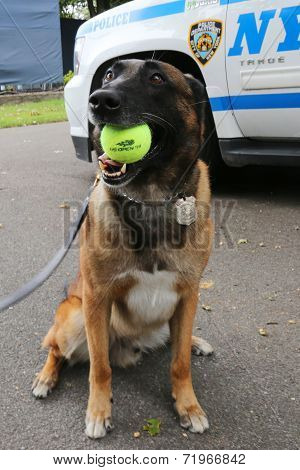 Belgian Shepherd K-9 Wyatt providing security at National Tennis Center during US Open 2014