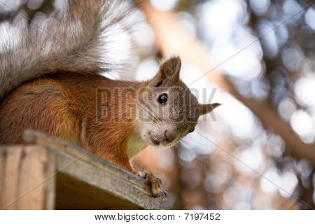 Cute squirrel in a forest. Close up. poster